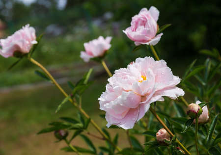 Pale pink peony bush in the garden. Blooming flowers and buds against a background of green foliage