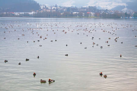 Flock of red-crested pochard (Netta rufina) winters on Lake Lucerne in the Swiss Alps