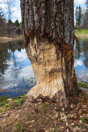 Tree trunk on the river bank is damaged by beaver. Beavers fell trees to build dams and lodges 免版税图像