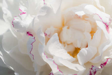 White peony flower close up. Beautiful natural floral background. Peony varieties Festiva maxima white petals with pink border