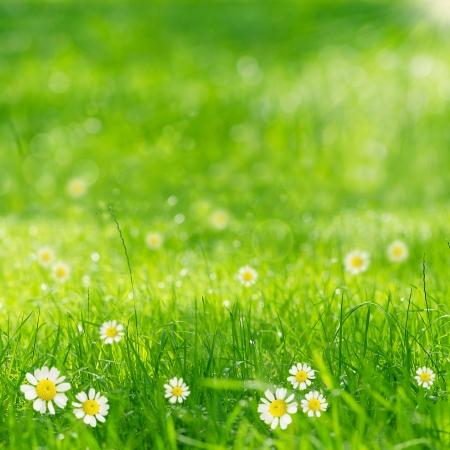 grünes Gras und Gänseblümchen in der Sonne Standard-Bild