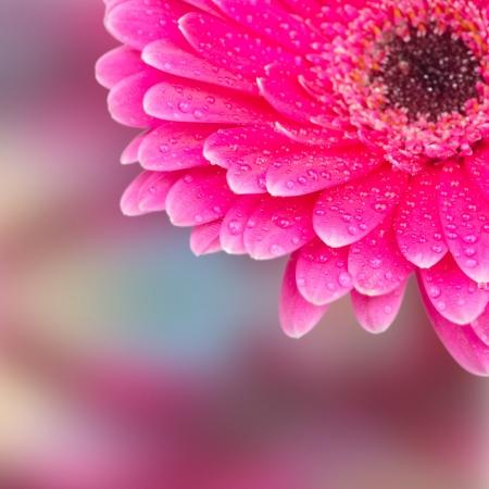 part of a flower gerbera with dew drops selective focus closeup photo
