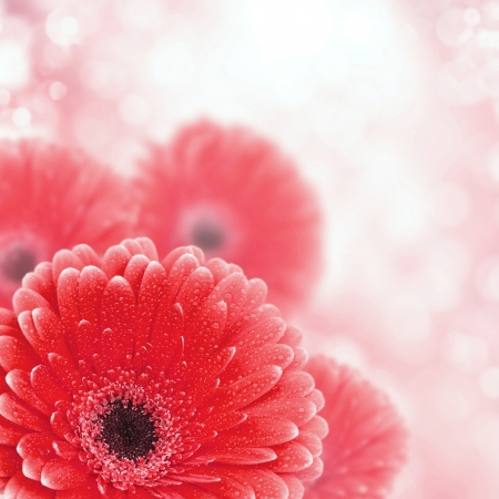 Red gerbera background with bokeh effect, closeup photo