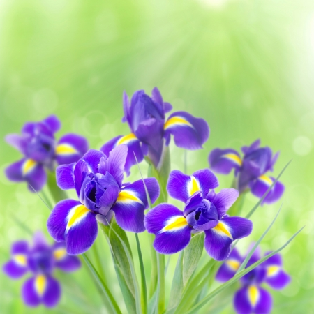 bouquet of beautiful irises on a green background in the sunlight and bokeh photo