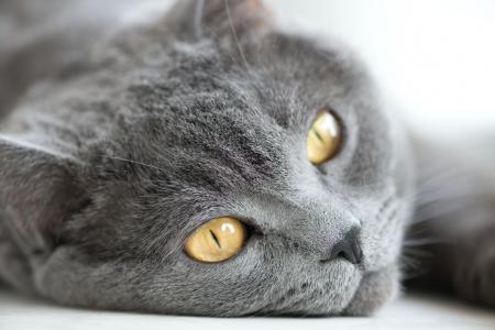 cat eyes: snout of gray british cat closeup