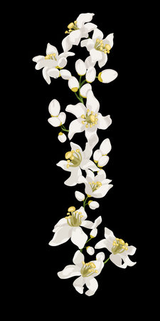 Branch of Citrus Tree Flowers such as mandarin, lemon, orange, lime. Vertical line patten with  flowers and buds of beautiful spring blossom
