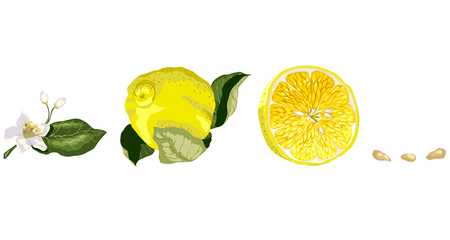 Set with Lemon tree parts such as citrus flower, a fruit, a half of a lemon and some seeds. Horizontal line Illustration