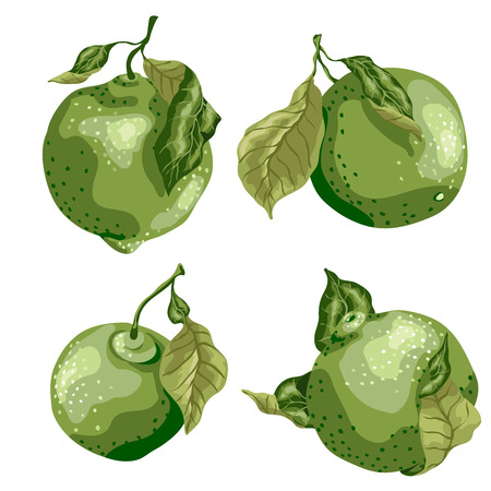 Lime fruit of round shape with leaves on the branch. Sweet sort of lime, Mexican type sort of lime Illustration