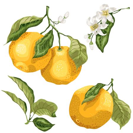Set met plantendelen van citrus oranje fruitbomen. Er zijn bladeren, vruchten aan takken, kleine knopjes en bloemen. Set gemaakt in vectorafbeelding