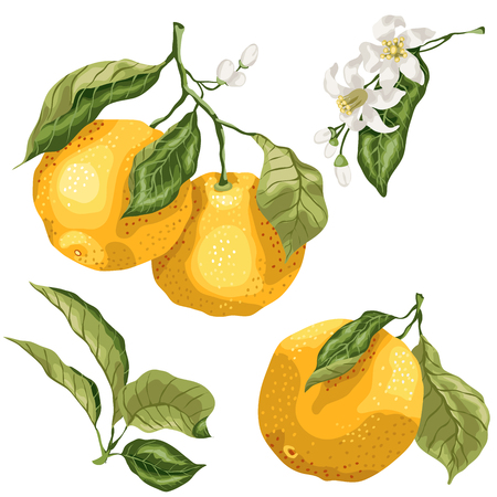 Set with citrus orange fruit tree plant parts. There are leaves, fruits on branches, tiny buds and flowers. Set made in vector graphic Çizim