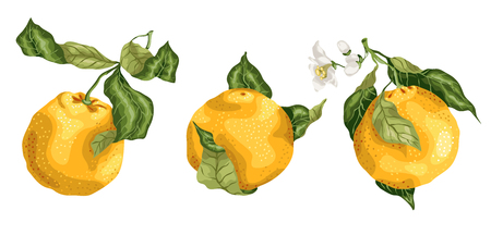 Set of orange citrus fruits with flowers and buds on the branches with leaves. The image is made in vector graphic design