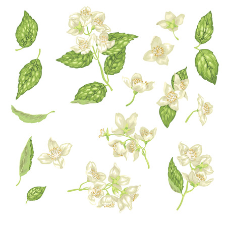 Set with jasmine flowers, buds and leaves in realistic graphic vector illustration