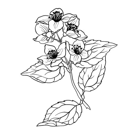Jasmine Branch vector graphic illustation in coloring page in realistic drawing Vetores