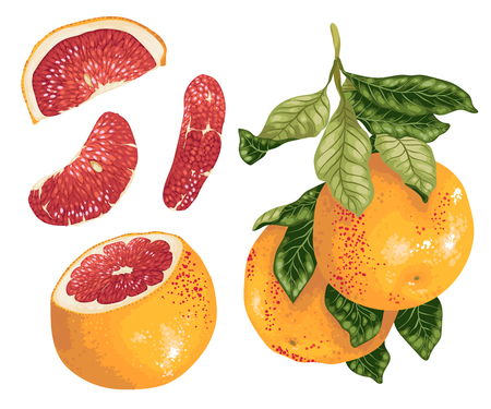 Grapefruit set with fruits on the branch and slices in realistic vectorgraphic design illustration