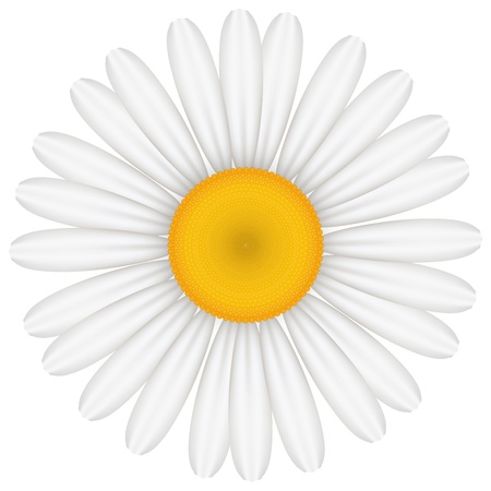 oxeye: Vector illustration of chamomile