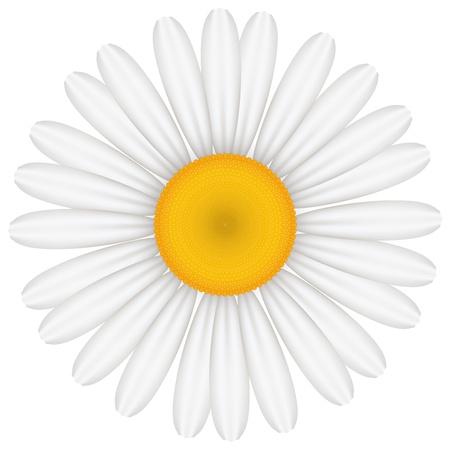 marguerite: Vector illustration of chamomile