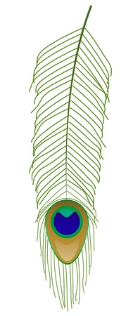 plumage: Vector illustration of peacock feather Illustration