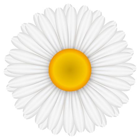oxeye: illustration of chamomile
