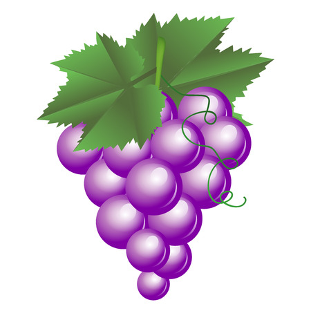 bunch of grapes: Vector illustration of purple grapes Illustration