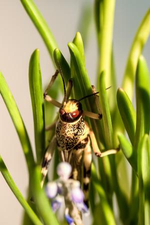 langosta: gran Langosta que se sienta en la hierba verde Foto de archivo
