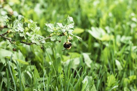 may fly: big bumblebee pollinates a gooseberry bush in the spring garden
