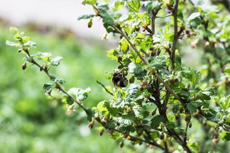 gooseberry bush: big bumblebee pollinates a gooseberry bush in the spring garden