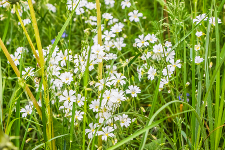 cerastium tomentosum: beautiful white wild flowers bloom in spring in a field