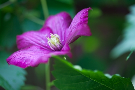 clematis flower: Pink flower of clematis