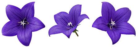 bellflower: Bellflower isolated on white