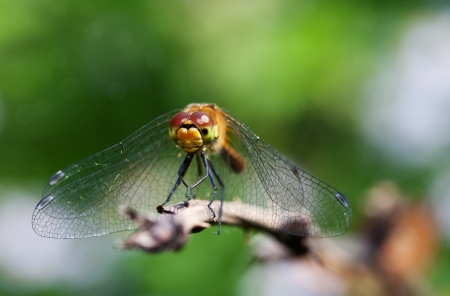 Dragonfly on a dry branch photo