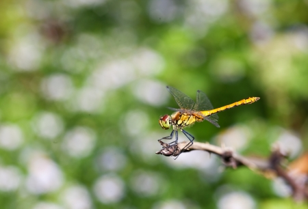 trithemis: Dragonfly on a dry branch