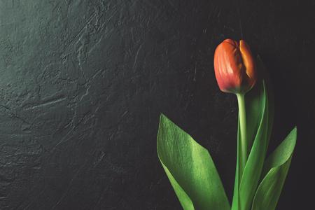 Red tulip on black background Stock Photo - 74052757