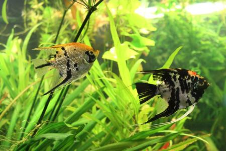 scalar: Aquarium fish: Angelfish (Scalars)