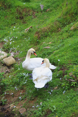 goodliness: The pair of beautiful white Swans on the green grass