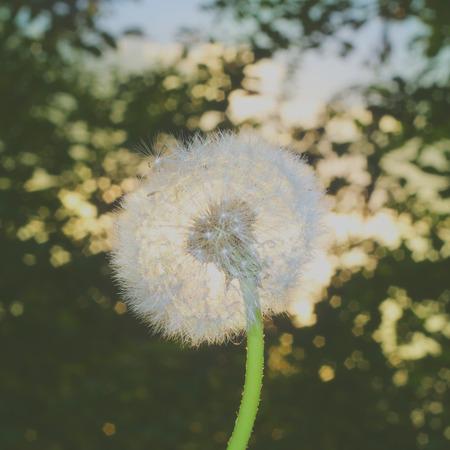 blowball: Fluffy blowball and the sunrise. Bokeh