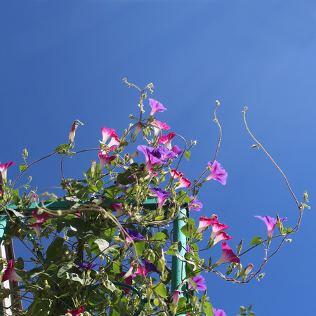 bindweed: Up to the sun. Purple bindweed flowers with blue sky and sun rays