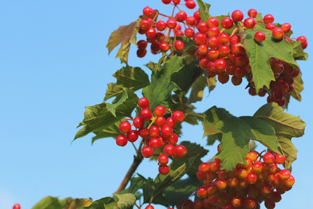 guelder rose berry: Branch with Viburnum Berries and blue sky background