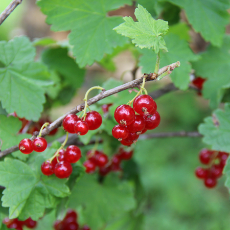 currant: red currant berries Stock Photo