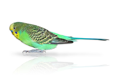 Full size green Budgerigar isolated on the white Stock Photo