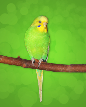 Little Green Budgie female sitting on the branch. Green background (path to extract bird figure)