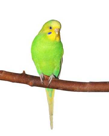 Petite Perruche ondulée verte assis sur la branche. Isolé sur blanc Banque d'images - 74332555