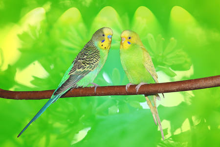 Couple of cute budgies sitting on the branch. Abstract green background
