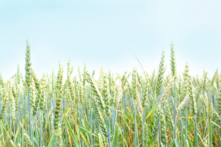 Green spikelets of wheat in the field. The crop is growing and maturing. There will be bread. A calm agrarian landscape and texture Stock Photo