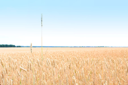 Gold field of wheat. The harvest is growing and maturing under blue sky. There will be bread and vodka 写真素材