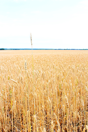 Gold field of wheat. The harvest is growing and maturing under blue sky. One spiklet is higher 写真素材