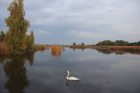A beautiful white swan floats on a quiet water. Thickets of reeds and trees along the shore. Wild nature. Calming atmosphere