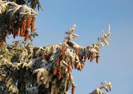 Snowy fir tree on a blue sky background photo