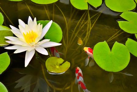 lirio acuatico: Estanque con nenúfar blanco y peces koi. Los jardines del Barón Rothschild, Israel.