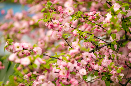 flowering: Prunus triloba (Louiseania) blossoms. Spring bush of almond with beautiful pink flowers. Nature background.
