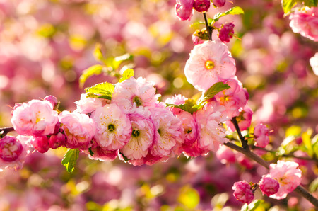 pink flowers: Prunus triloba (Louiseania) blossoms. Spring branch of almond with beautiful pink flowers. Stock Photo